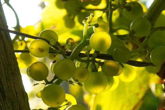 Tourist-Info-Het-Reestdal_CT_eten-drinken_streekproducten_wijngoed-Reestlandhoeve-Balkbrug-druiven