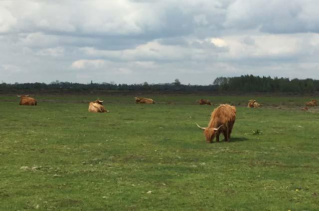 Tourist-Info-Het-Reestdal_CT_natuur-tuinen_Takkenhoogte_Schotse-Hooglanders