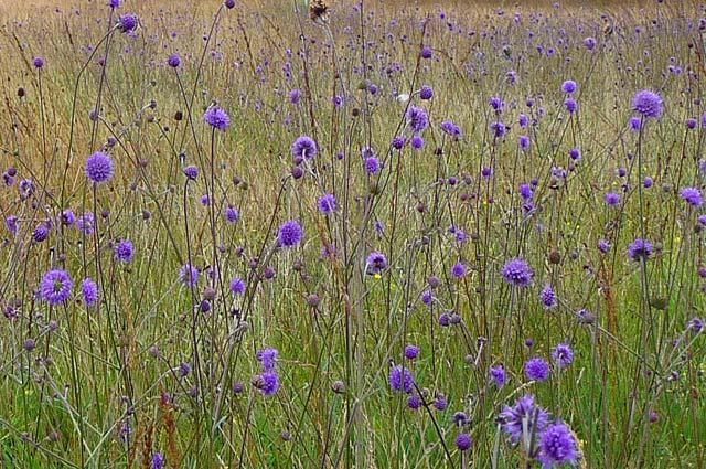 Tourist-Info-Het-Reestdal_natuur-tuinen_Staphorsterveld-blauwgrasland-blauwe-knoop