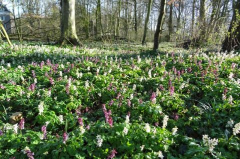 Holwortel-Dickninge-Reestdal-bloeit