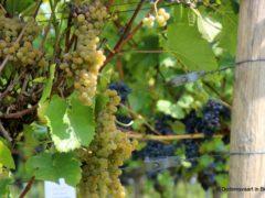 druiven wijngaard Reestlandhoeve
