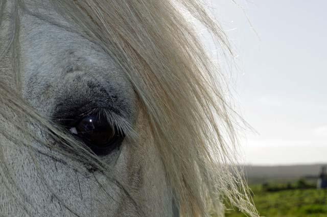 mysteries Reestdal grijs paard