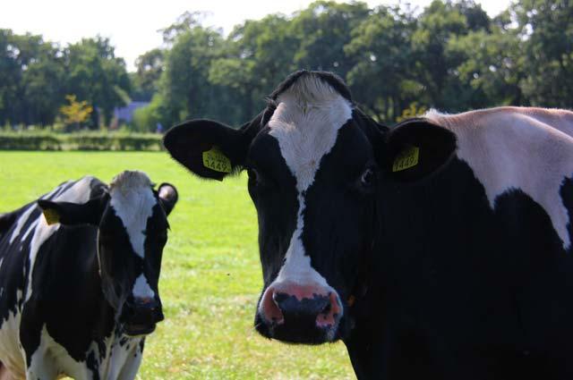 de boer als gastheer melkveebedrijf Koonstra